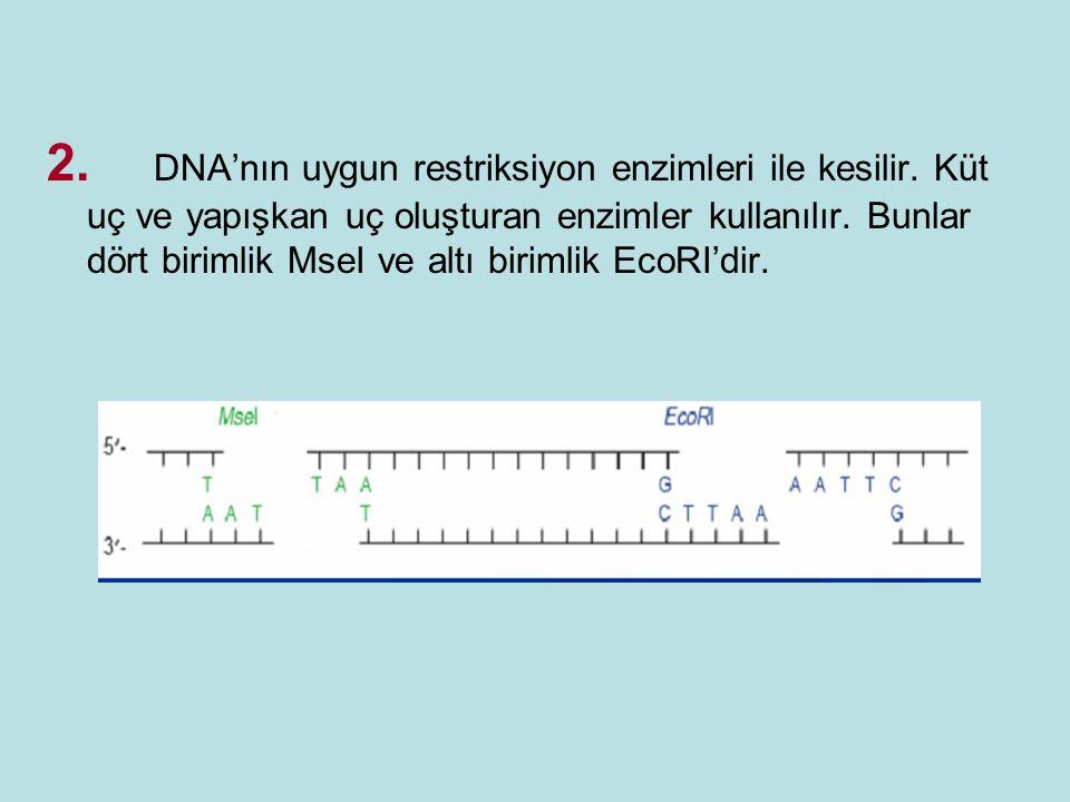 2. DNA'nın uygun restriksiyon enzimleri ile kesilir. Küt uç ve yapışkan uç oluşturan enzimler kullanılır. Bunlar dört birimlik MseI ve altı birimlik E