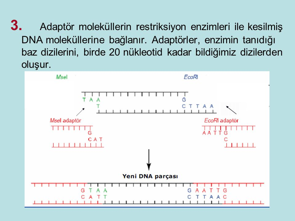 3. Adaptör moleküllerin restriksiyon enzimleri ile kesilmiş DNA moleküllerine bağlanır. Adaptörler, enzimin tanıdığı baz dizilerini, birde 20 nükleoti