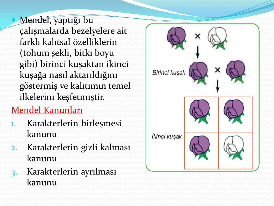 Mendel, yaptığı bu çalışmalarda bezelyelere ait farklı kalıtsal özelliklerin (tohum şekli, bitki boyu gibi) birinci kuşaktan ikinci kuşağa nasıl aktar