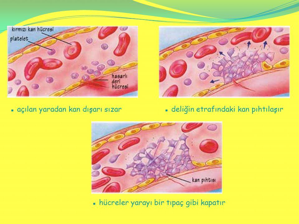 ▪ açılan yaradan kan dışarı sızar▪ deliğin etrafındaki kan pıhtılaşır ▪ hücreler yarayı bir tıpaç gibi kapatır