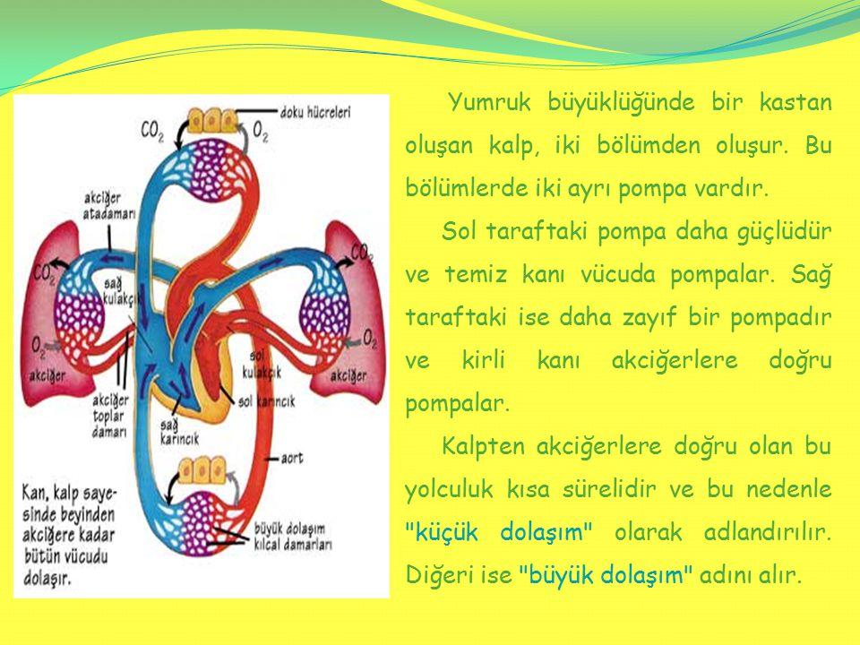 Yumruk büyüklüğünde bir kastan oluşan kalp, iki bölümden oluşur. Bu bölümlerde iki ayrı pompa vardır. Sol taraftaki pompa daha güçlüdür ve temiz kanı