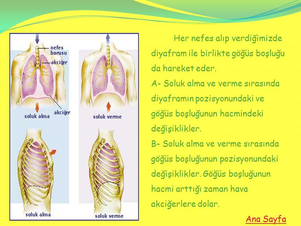 Her nefes alıp verdiğimizde diyafram ile birlikte göğüs boşluğu da hareket eder. A- Soluk alma ve verme sırasında diyaframın pozisyonundaki ve göğüs b