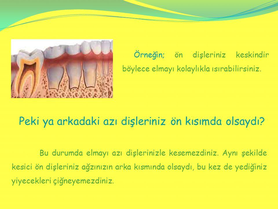 Bu durumda elmayı azı dişlerinizle kesemezdiniz. Aynı şekilde kesici ön dişleriniz ağzınızın arka kısmında olsaydı, bu kez de yediğiniz yiyecekleri çi