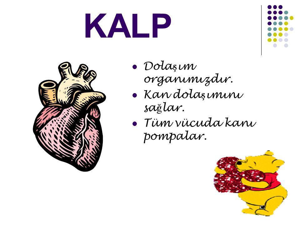 KALP Dola ş ım organımızdır. Kan dola ş ımını sa ğ lar. Tüm vücuda kanı pompalar.