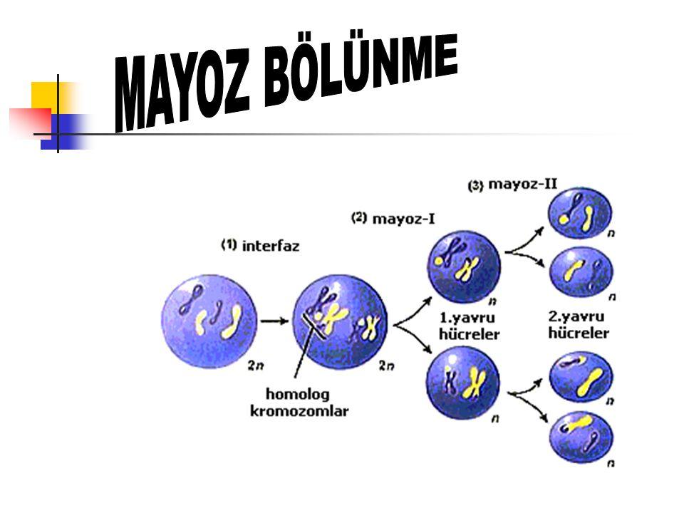 Mayoz Bölünme ve Özellikleri Eşey ana hücrelerinde görülür.(2n) Bölünme sonucunda kromozom sayısı yarıya iner.