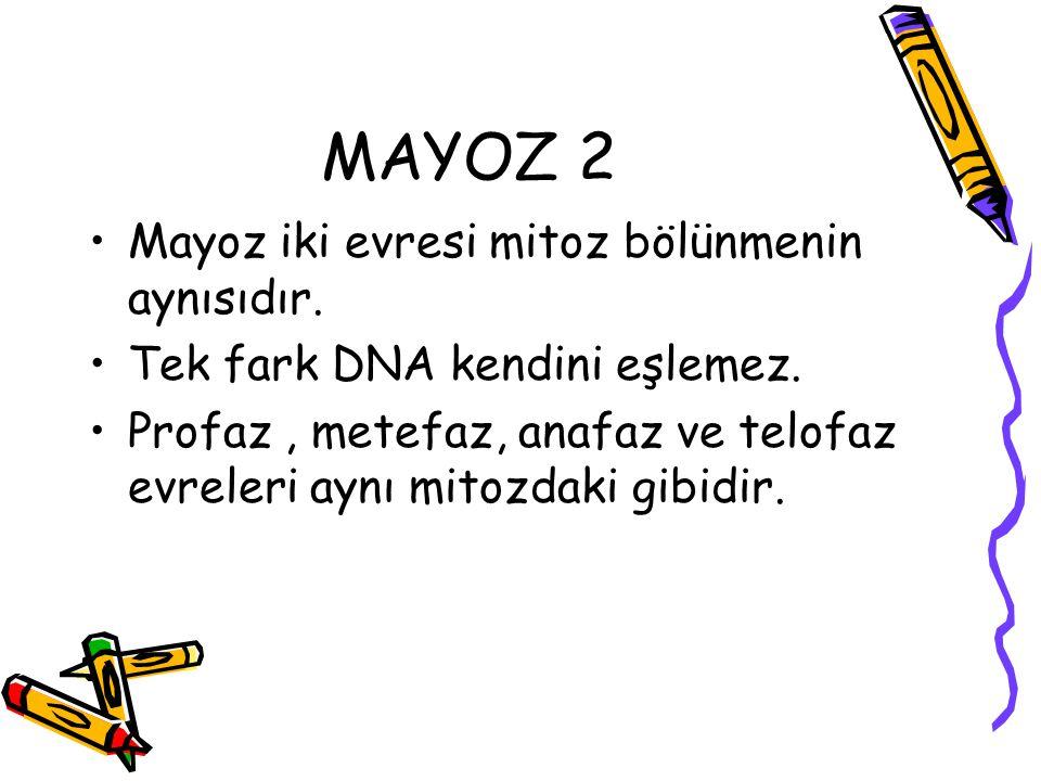 MAYOZ 2 Mayoz iki evresi mitoz bölünmenin aynısıdır. Tek fark DNA kendini eşlemez. Profaz, metefaz, anafaz ve telofaz evreleri aynı mitozdaki gibidir.