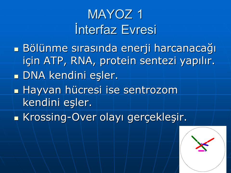 MAYOZ 1 İnterfaz Evresi Bölünme sırasında enerji harcanacağı için ATP, RNA, protein sentezi yapılır. Bölünme sırasında enerji harcanacağı için ATP, RN
