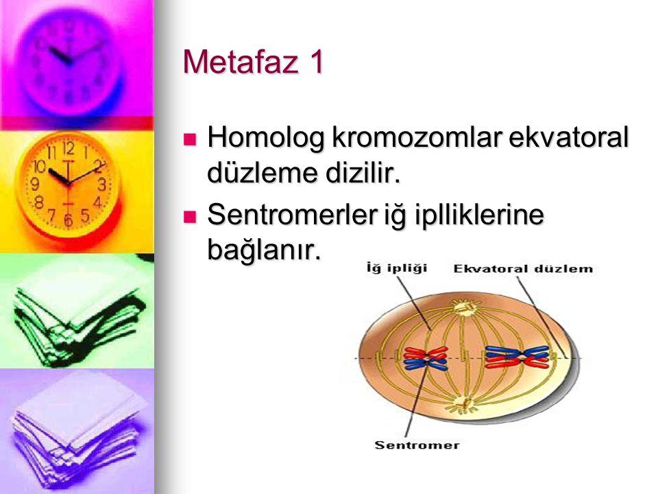 Metafaz 1 Homolog kromozomlar ekvatoral düzleme dizilir. Homolog kromozomlar ekvatoral düzleme dizilir. Sentromerler iğ iplliklerine bağlanır. Sentrom