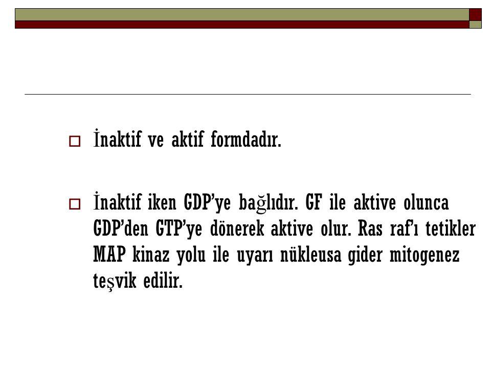  İ naktif ve aktif formdadır.  İ naktif iken GDP'ye ba ğ lıdır. GF ile aktive olunca GDP'den GTP'ye dönerek aktive olur. Ras raf'ı tetikler MAP kina