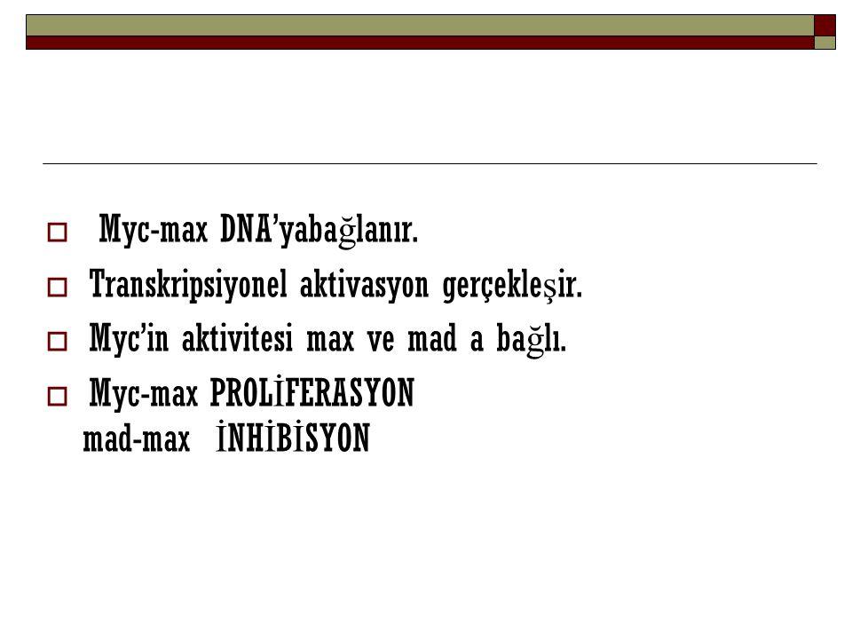  Myc-max DNA'yaba ğ lanır.  Transkripsiyonel aktivasyon gerçekle ş ir.  Myc'in aktivitesi max ve mad a ba ğ lı.  Myc-max PROL İ FERASYON mad-max İ