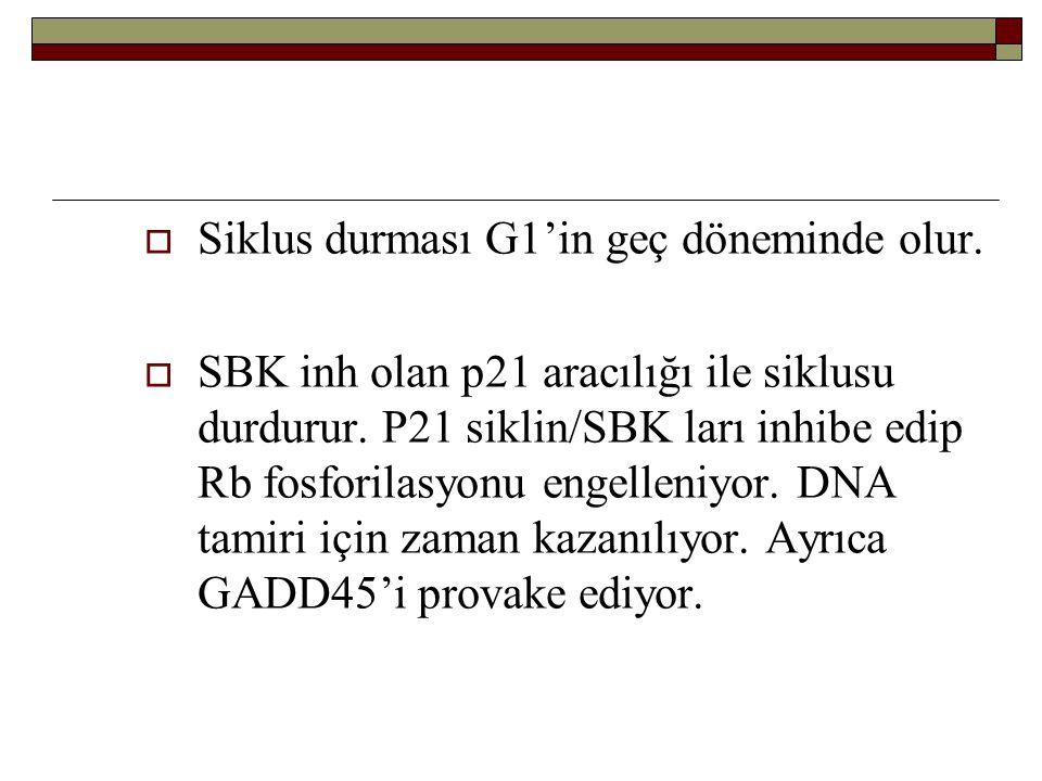  Siklus durması G1'in geç döneminde olur.  SBK inh olan p21 aracılığı ile siklusu durdurur. P21 siklin/SBK ları inhibe edip Rb fosforilasyonu engell