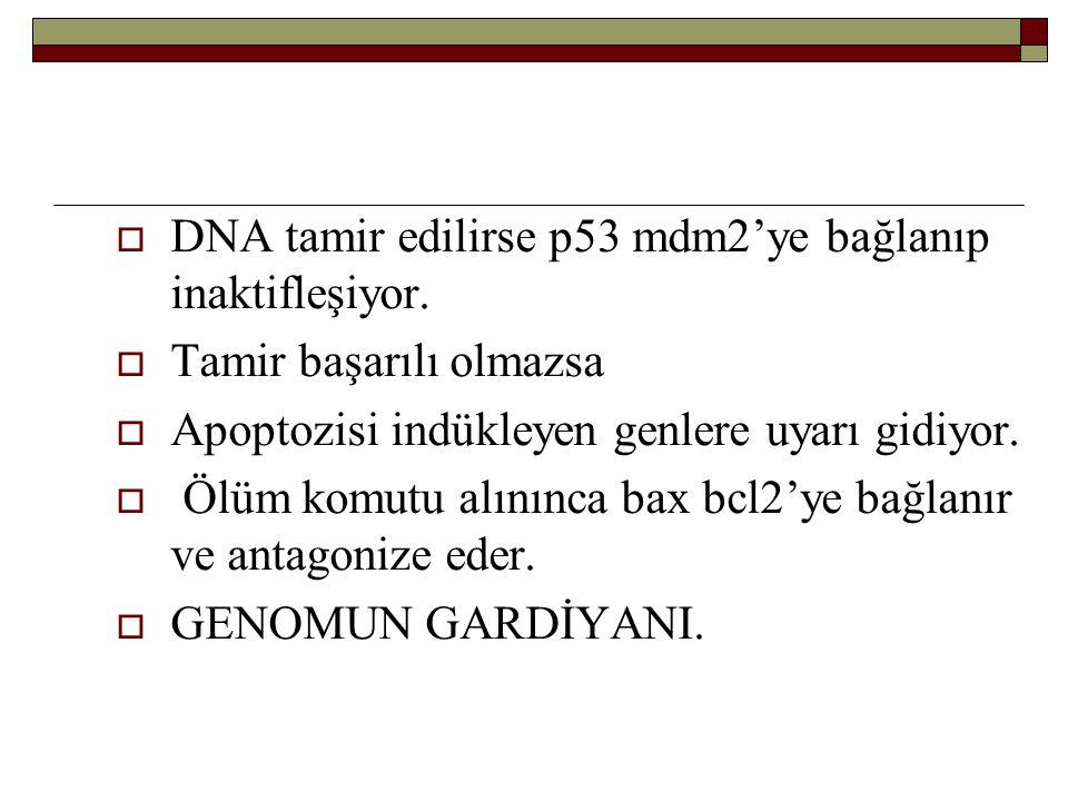  DNA tamir edilirse p53 mdm2'ye bağlanıp inaktifleşiyor.  Tamir başarılı olmazsa  Apoptozisi indükleyen genlere uyarı gidiyor.  Ölüm komutu alının