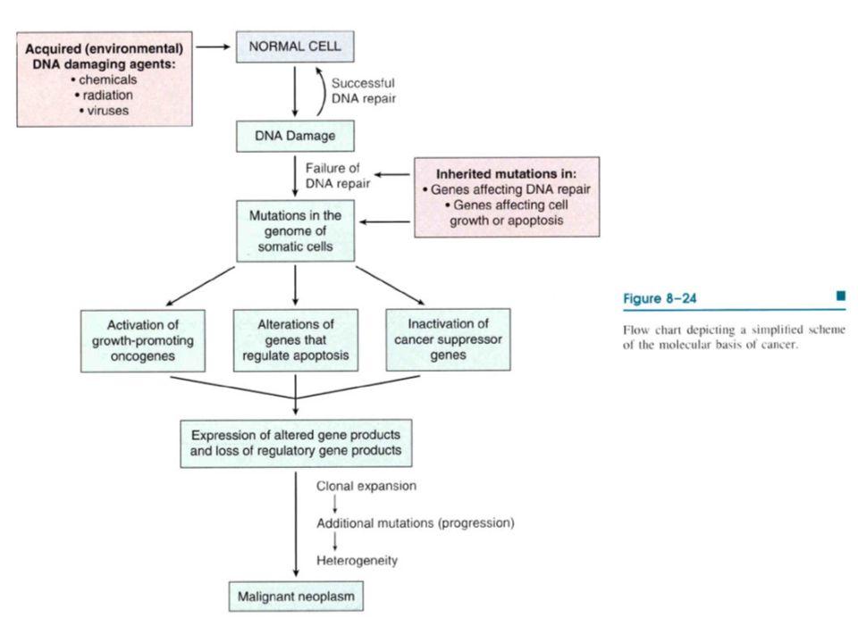  1)HÜCRE YÜZEY RESEPTÖRÜ  TGF beta, Kadherin, DCC geni  TGF Büyümeyi inhibe eder.
