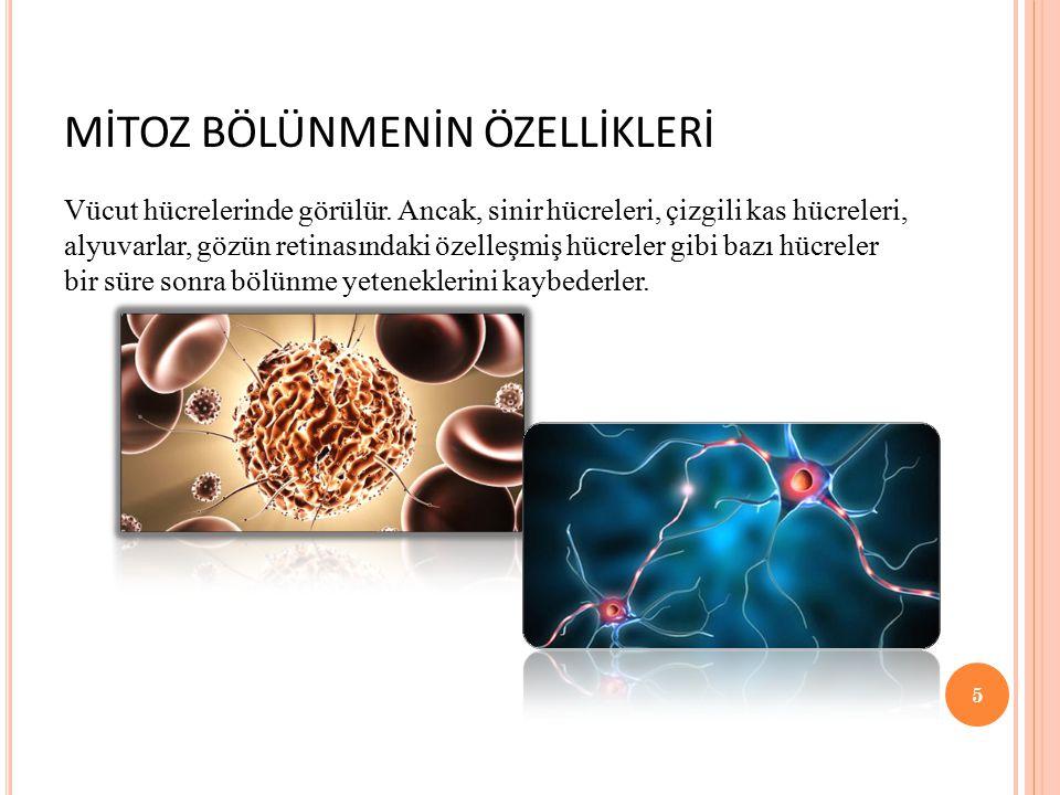 MİTOZ BÖLÜNMENİN ÖZELLİKLERİ Vücut hücrelerinde görülür. Ancak, sinir hücreleri, çizgili kas hücreleri, alyuvarlar, gözün retinasındaki özelleşmiş hüc