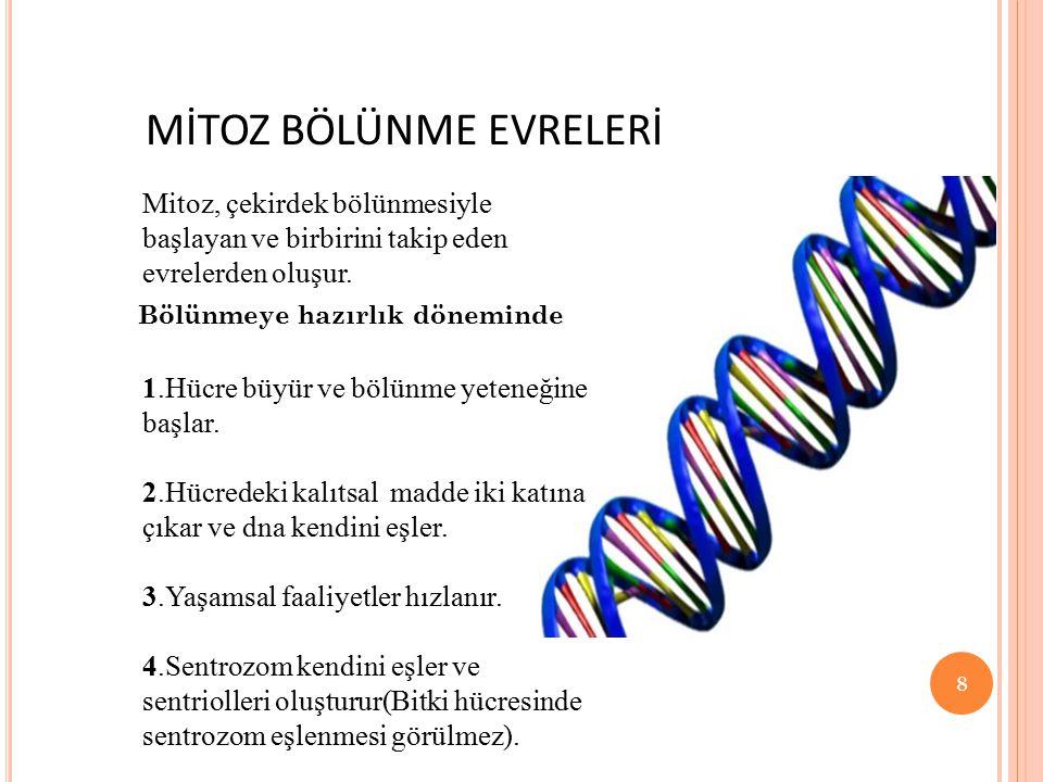 MİTOZ BÖLÜNME EVRELERİ Mitoz, çekirdek bölünmesiyle başlayan ve birbirini takip eden evrelerden oluşur. Bölünmeye hazırlık döneminde 1.Hücre büyür ve