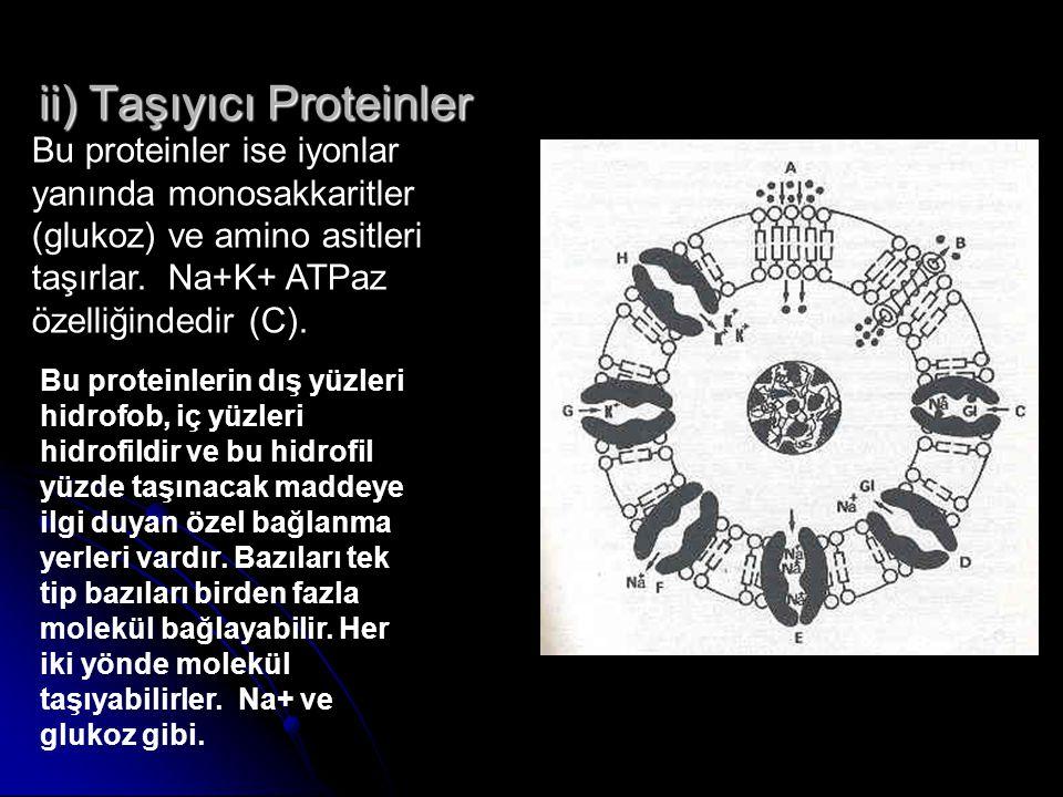 ii) Taşıyıcı Proteinler Bu proteinler ise iyonlar yanında monosakkaritler (glukoz) ve amino asitleri taşırlar. Na+K+ ATPaz özelliğindedir (C). Bu prot