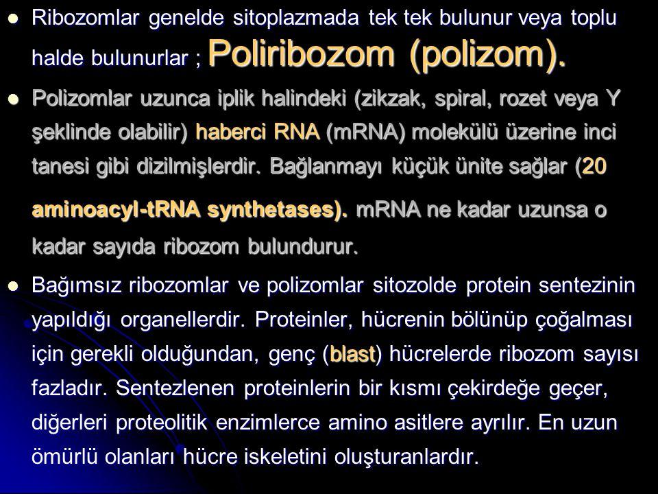 Ribozomlar genelde sitoplazmada tek tek bulunur veya toplu halde bulunurlar ; Poliribozom (polizom). Ribozomlar genelde sitoplazmada tek tek bulunur v