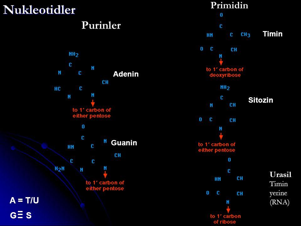 Purinler Primidin Urasil Timin yerine (RNA)Nukleotidler Adenin Guanin Timin Sitozin A = T/U G S