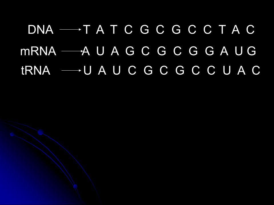 DNA T A T C G C G C C T A C mRNA A U A G C G C G G A U G tRNA U A U C G C G C C U A C