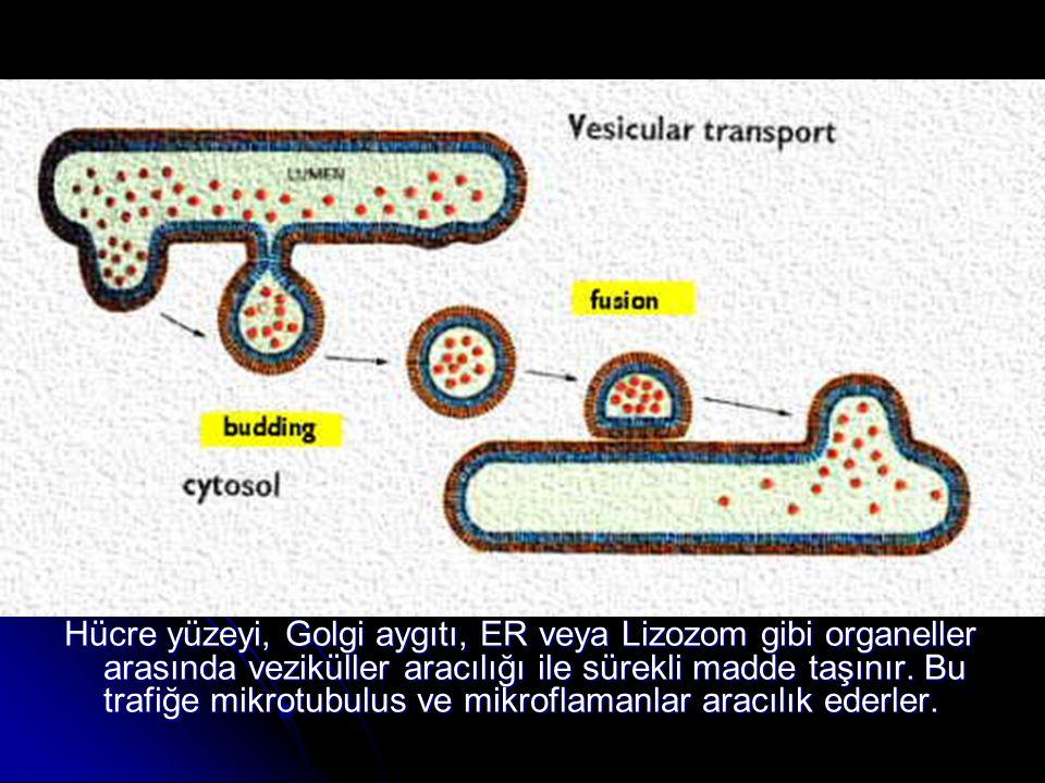 Hücre yüzeyi, Golgi aygıtı, ER veya Lizozom gibi organeller arasında veziküller aracılığı ile sürekli madde taşınır. Bu trafiğe mikrotubulus ve mikrof