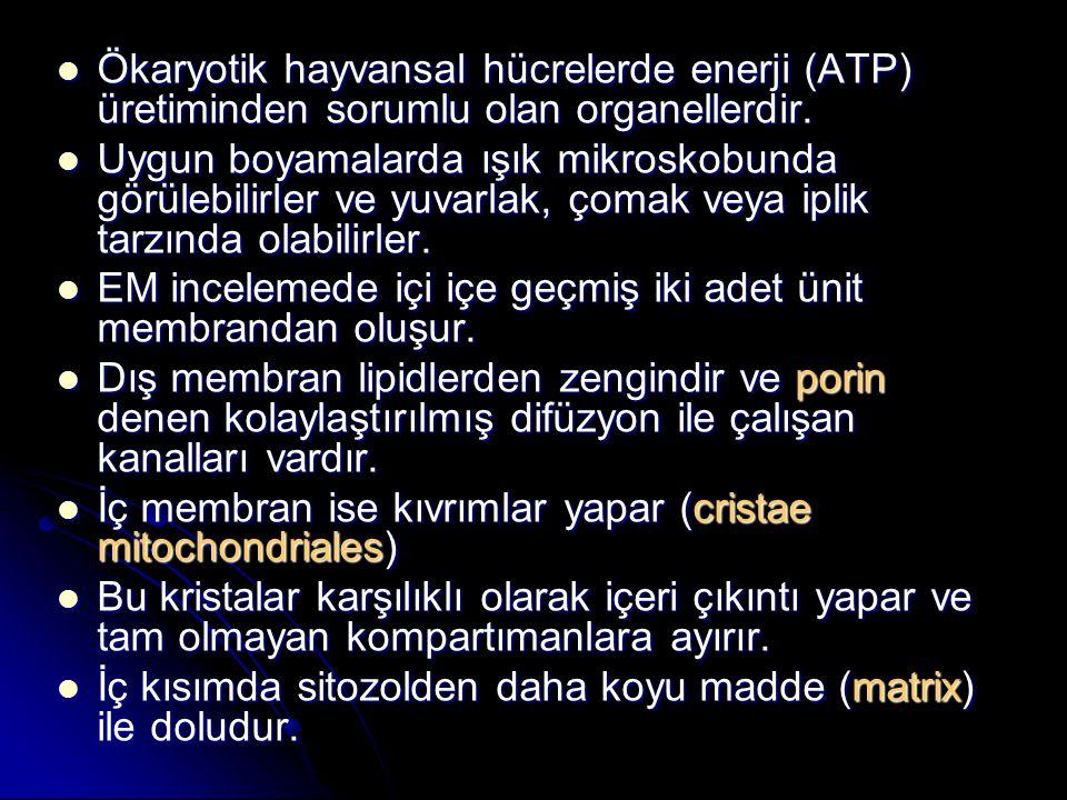 Ökaryotik hayvansal hücrelerde enerji (ATP) üretiminden sorumlu olan organellerdir. Ökaryotik hayvansal hücrelerde enerji (ATP) üretiminden sorumlu ol
