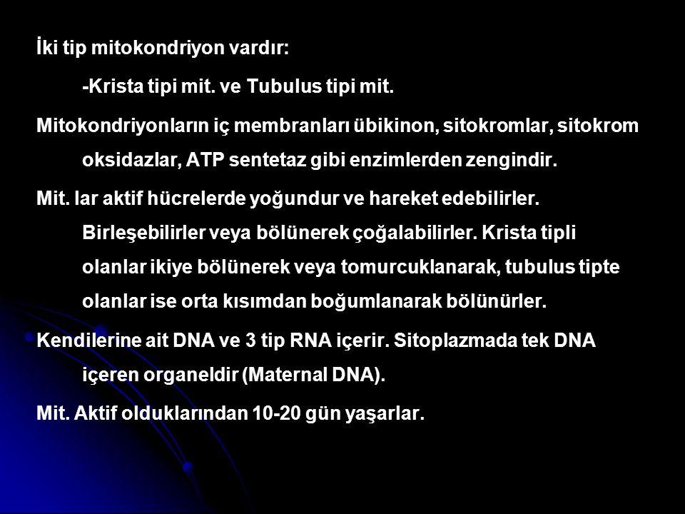 İki tip mitokondriyon vardır: -Krista tipi mit. ve Tubulus tipi mit. Mitokondriyonların iç membranları übikinon, sitokromlar, sitokrom oksidazlar, ATP