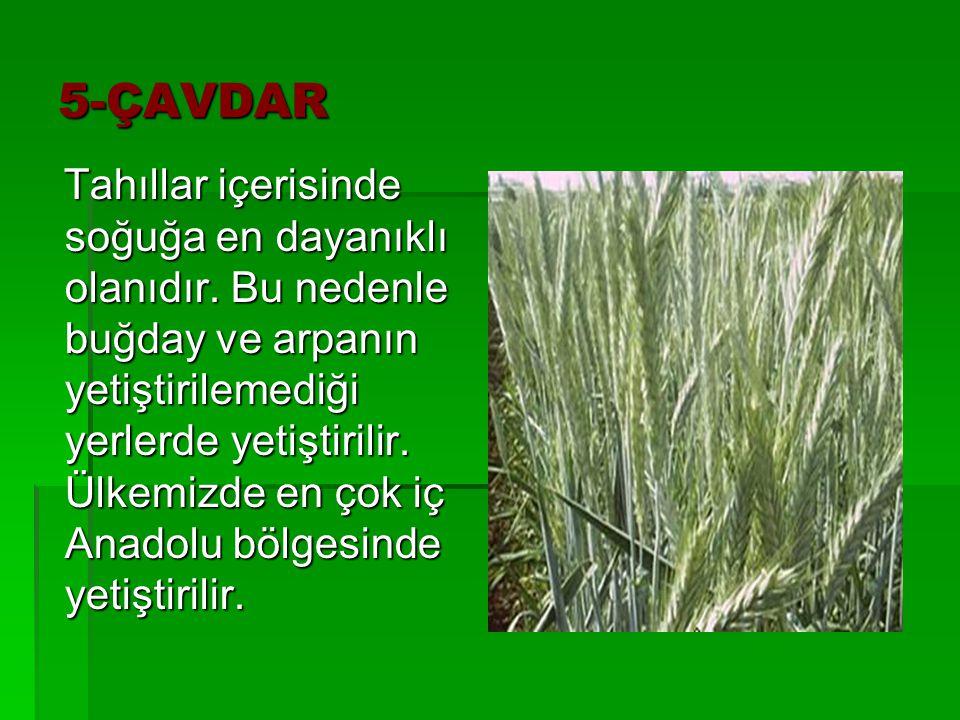 5-ÇAVDAR Tahıllar içerisinde soğuğa en dayanıklı olanıdır. Bu nedenle buğday ve arpanın yetiştirilemediği yerlerde yetiştirilir. Ülkemizde en çok iç A