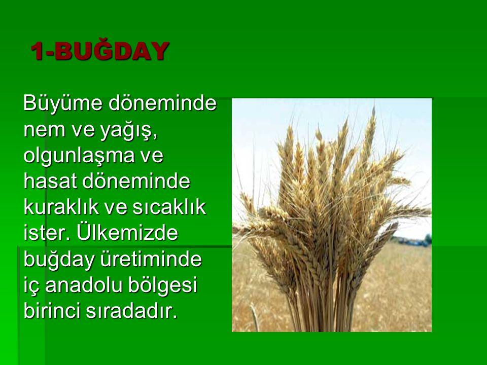 1-BUĞDAY Büyüme döneminde nem ve yağış, olgunlaşma ve hasat döneminde kuraklık ve sıcaklık ister. Ülkemizde buğday üretiminde iç anadolu bölgesi birin