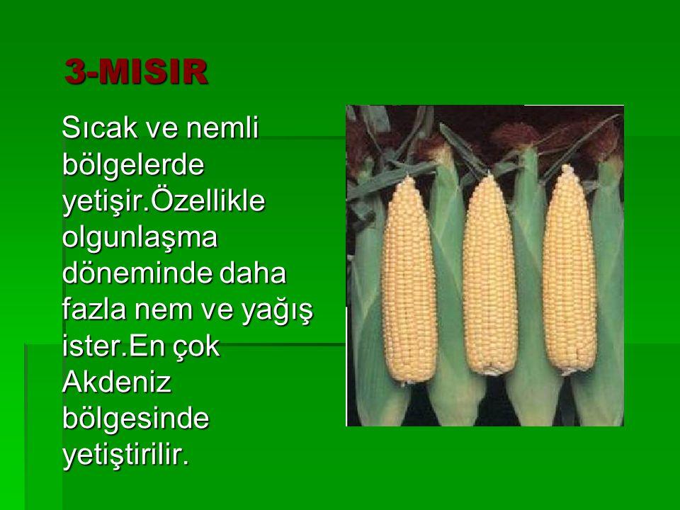 3-MISIR 3-MISIR Sıcak ve nemli bölgelerde yetişir.Özellikle olgunlaşma döneminde daha fazla nem ve yağış ister.En çok Akdeniz bölgesinde yetiştirilir.