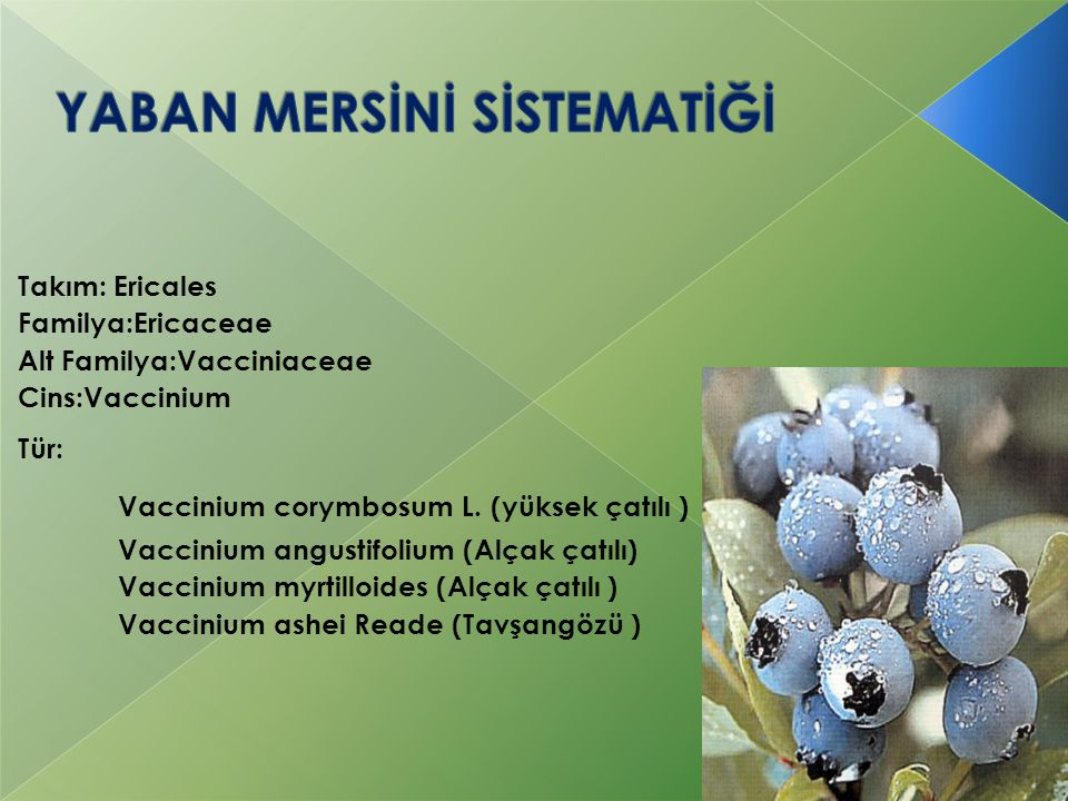 Takım: Ericales Familya:Ericaceae Alt Familya:Vacciniaceae Cins:Vaccinium Tür: Vaccinium corymbosum L. (yüksek çatılı ) Vaccinium angustifolium (Alçak