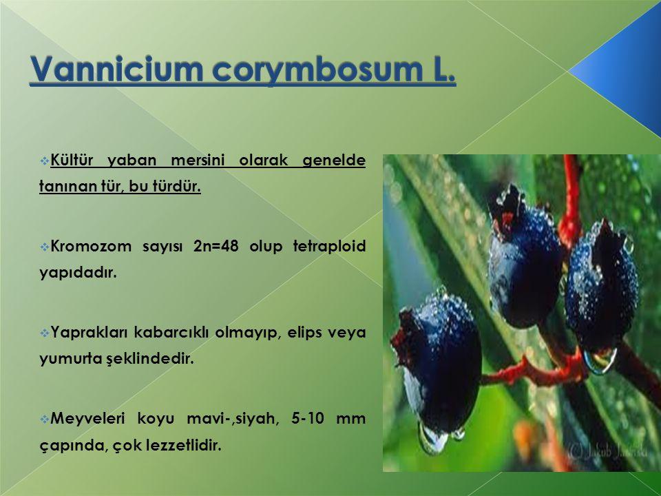  Kültür yaban mersini olarak genelde tanınan tür, bu türdür.  Kromozom sayısı 2n=48 olup tetraploid yapıdadır.  Yaprakları kabarcıklı olmayıp, elip