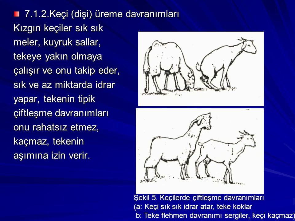 7.1.2.Keçi (dişi) üreme davranımları Kızgın keçiler sık sık meler, kuyruk sallar, tekeye yakın olmaya çalışır ve onu takip eder, sık ve az miktarda id