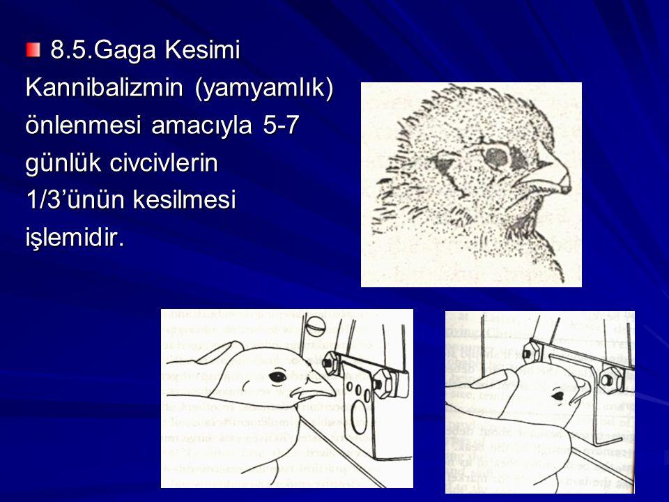 8.5.Gaga Kesimi Kannibalizmin (yamyamlık) önlenmesi amacıyla 5-7 günlük civcivlerin 1/3'ünün kesilmesi işlemidir.