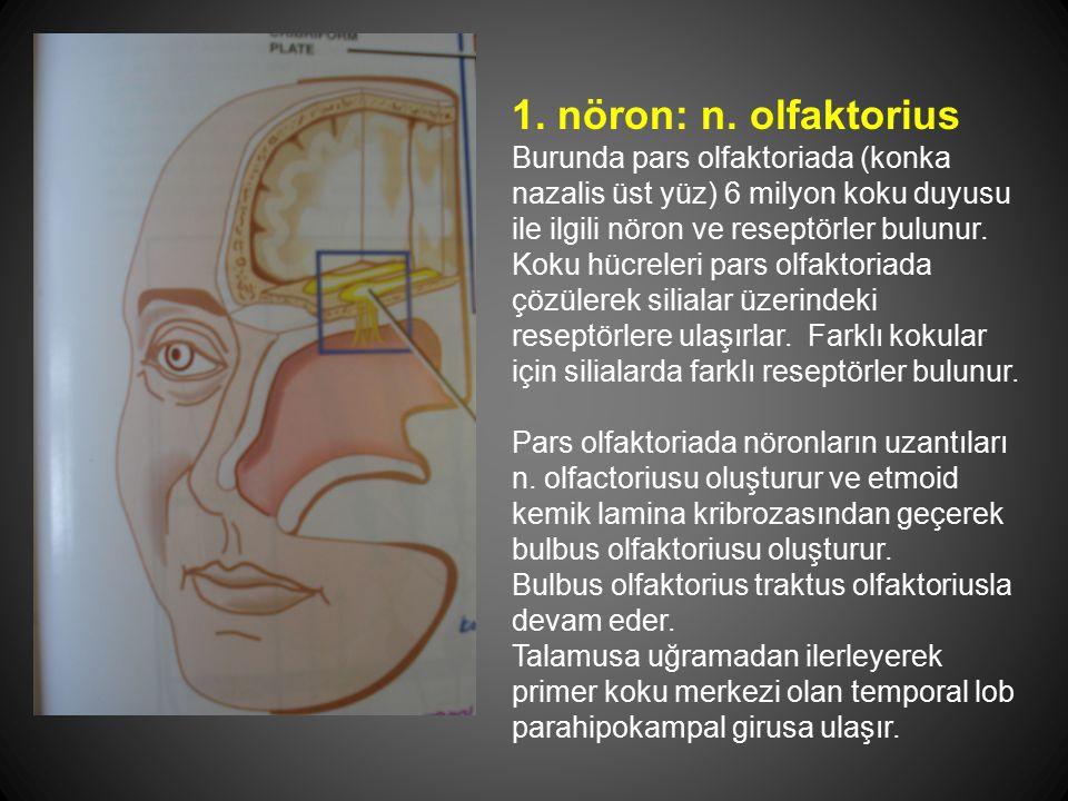 1. nöron: n. olfaktorius Burunda pars olfaktoriada (konka nazalis üst yüz) 6 milyon koku duyusu ile ilgili nöron ve reseptörler bulunur. Koku hücreler