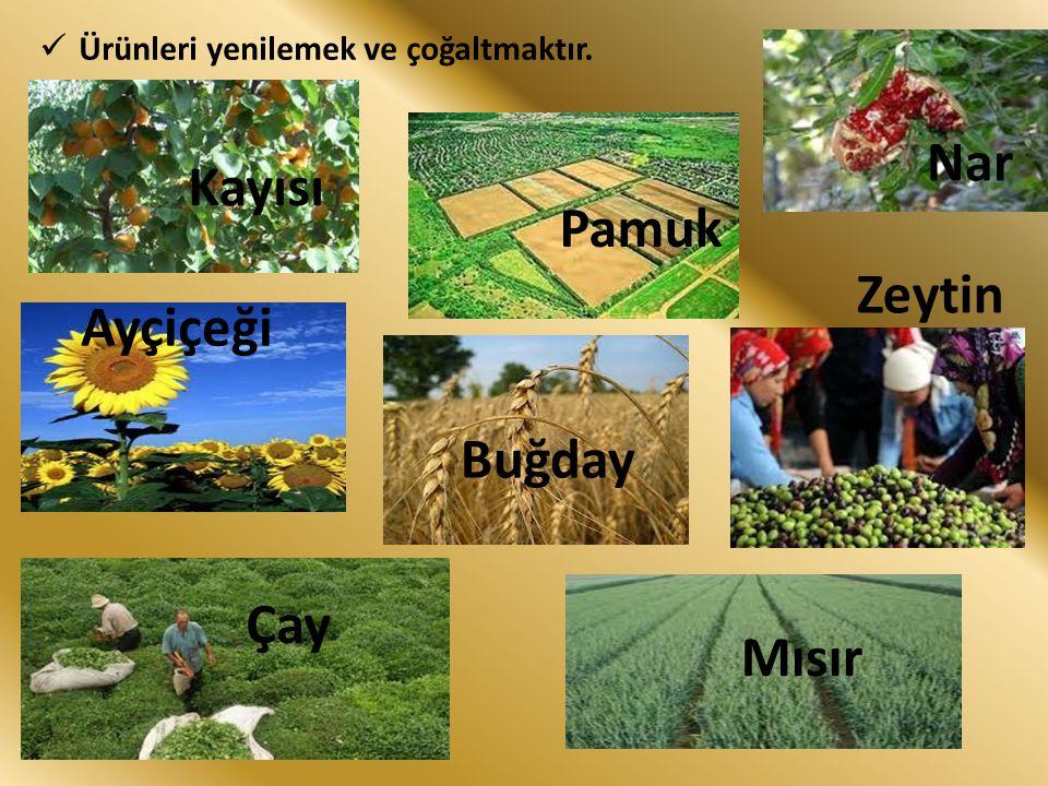 Kayısı Pamuk Nar Ayçiçeği Buğday Zeytin Çay Mısır Ürünleri yenilemek ve çoğaltmaktır.