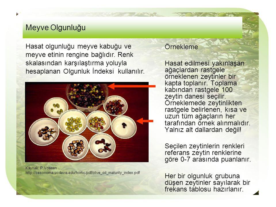 Örnekleme Hasat edilmesi yakınlaşan ağaçlardan rastgele örneklenen zeytinler bir kapta toplanır.
