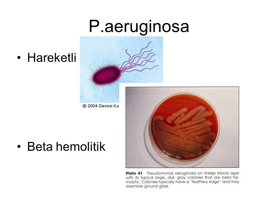 P.aeruginosa Hareketli Beta hemolitik