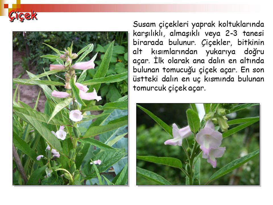 İki karpelli çeşitlerde çiçekler 5'lidir.