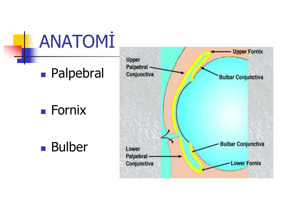 HISTOLOJI Epitel 2-5 kat Basal kuboidal hücre Yüzey yassı non-keratinize Stroma Basal membran Vaskülarize bağ dokusu Salgı bezleri Musin salgısı Goblet hücreleri Henle Crypt Manz bezleri Göz yaşı Lakrimal bez Krause Wofring