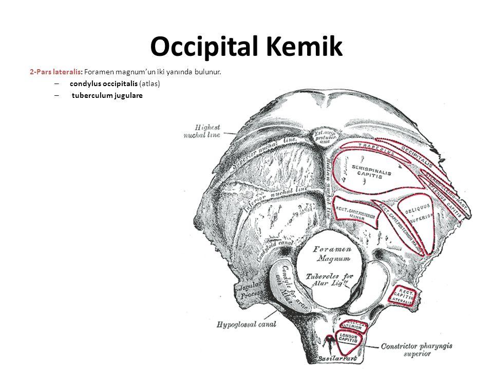 Occipital Kemik 2-Pars lateralis: Foramen magnum'un iki yanında bulunur.