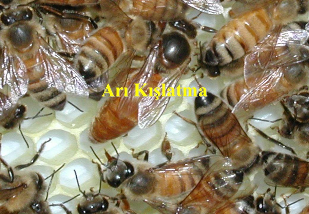 Kışlatma Nedir Bal arısı kolonilerinin aktif sezon sonrasında dinlenecekleri dönem olup hava sıcaklığının +14 0 C'nin altına düşmesiyle başlar.