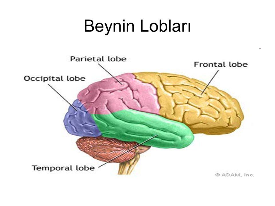 Beynin Lobları