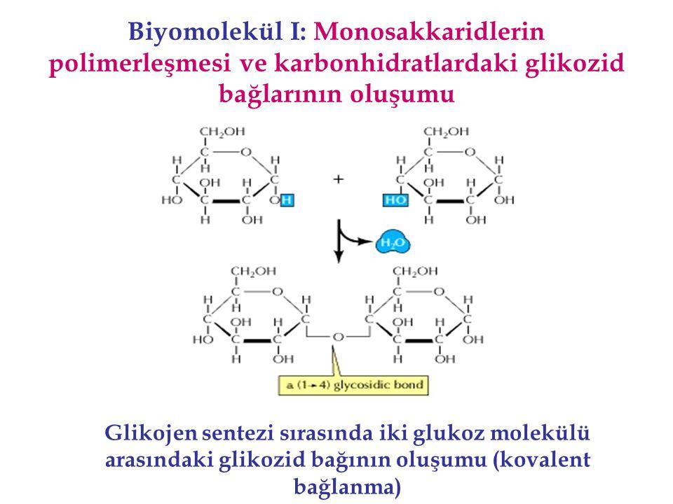 Biyomolekül I: Monosakkaridlerin polimerleşmesi ve karbonhidratlardaki glikozid bağlarının oluşumu Glikojen sentezi sırasında iki glukoz molekülü aras