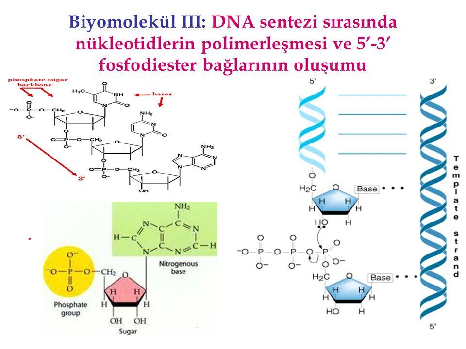 Biyomolekül III: DNA sentezi sırasında nükleotidlerin polimerleşmesi ve 5'-3' fosfodiester bağlarının oluşumu Nükleotid yapısı