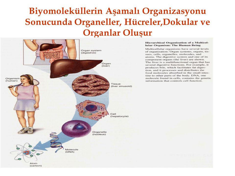 Biyomoleküllerin Aşamalı Organizasyonu Sonucunda Organeller, Hücreler,Dokular ve Organlar Oluşur