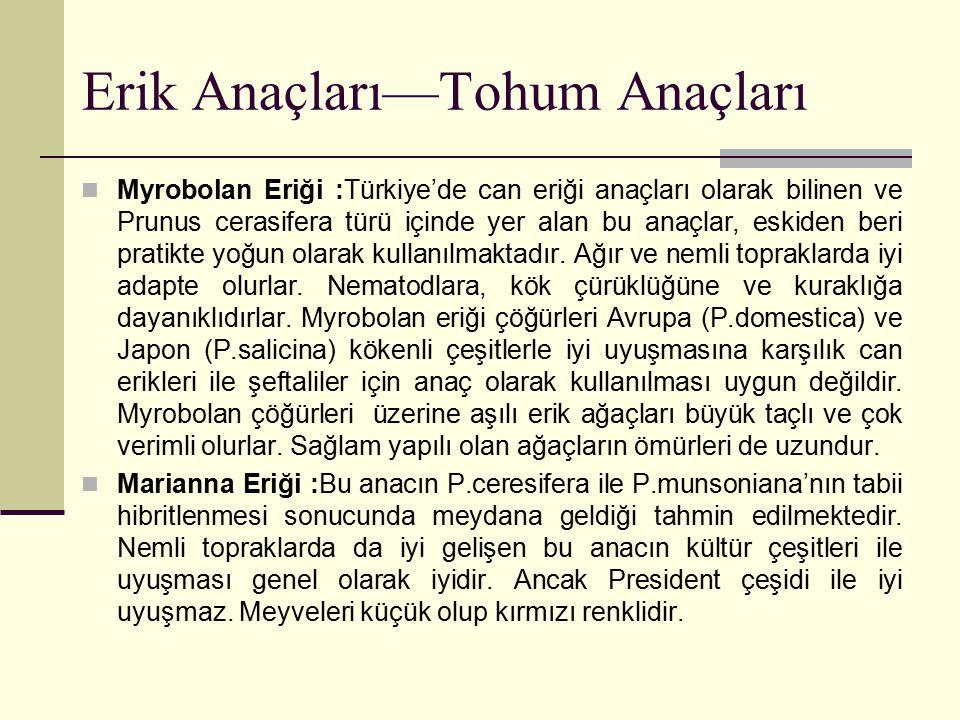 Erik Anaçları—Tohum Anaçları Myrobolan Eriği :Türkiye'de can eriği anaçları olarak bilinen ve Prunus cerasifera türü içinde yer alan bu anaçlar, eskid