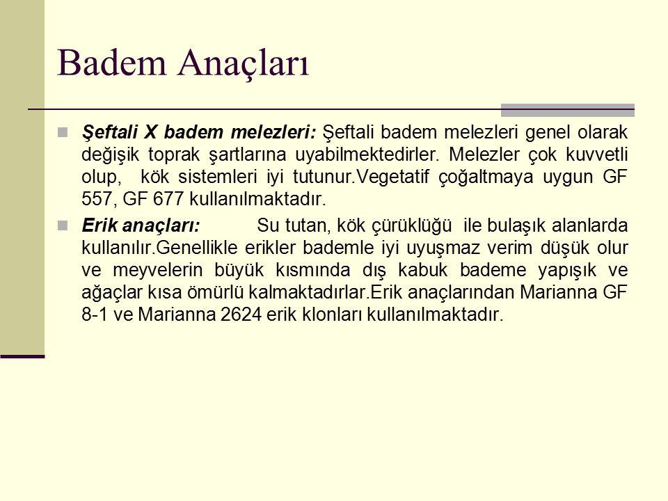 Badem Anaçları Şeftali X badem melezleri: Şeftali badem melezleri genel olarak değişik toprak şartlarına uyabilmektedirler. Melezler çok kuvvetli olup