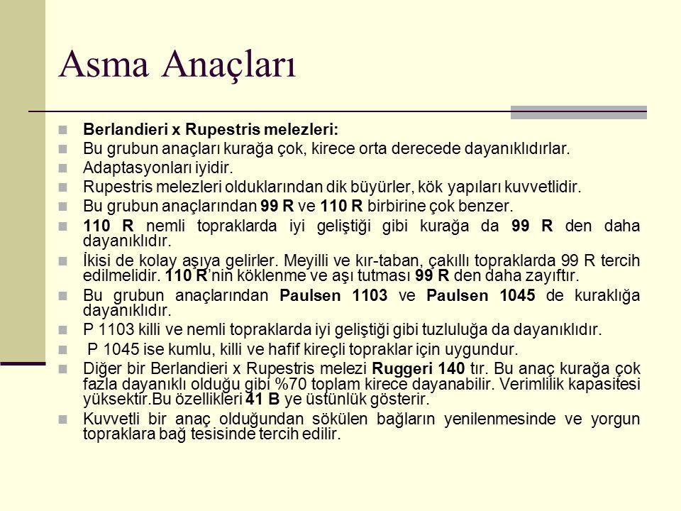 Asma Anaçları Berlandieri x Rupestris melezleri: Bu grubun anaçları kurağa çok, kirece orta derecede dayanıklıdırlar. Adaptasyonları iyidir. Rupestris