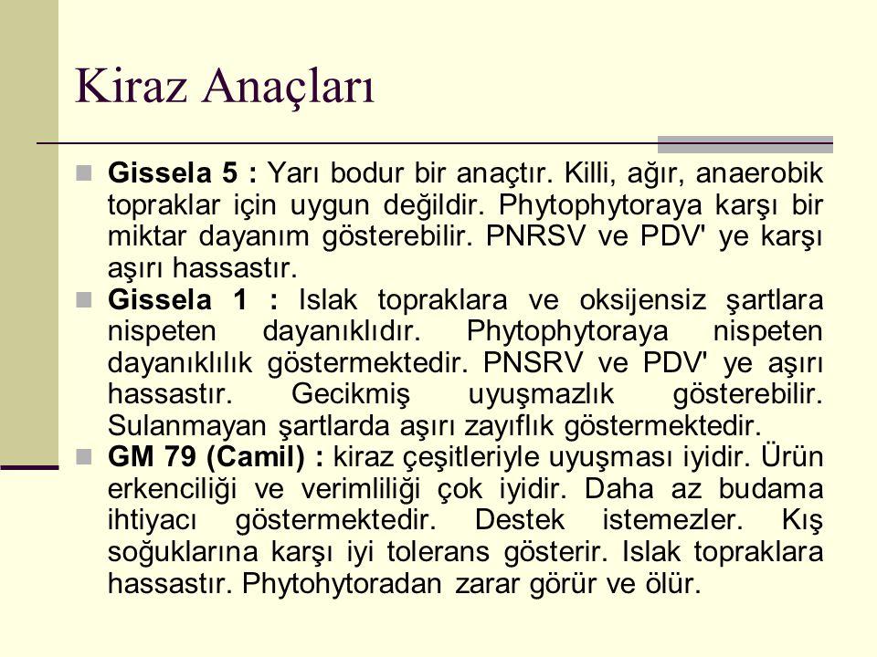 Kiraz Anaçları Gissela 5 : Yarı bodur bir anaçtır. Killi, ağır, anaerobik topraklar için uygun değildir. Phytophytoraya karşı bir miktar dayanım göste