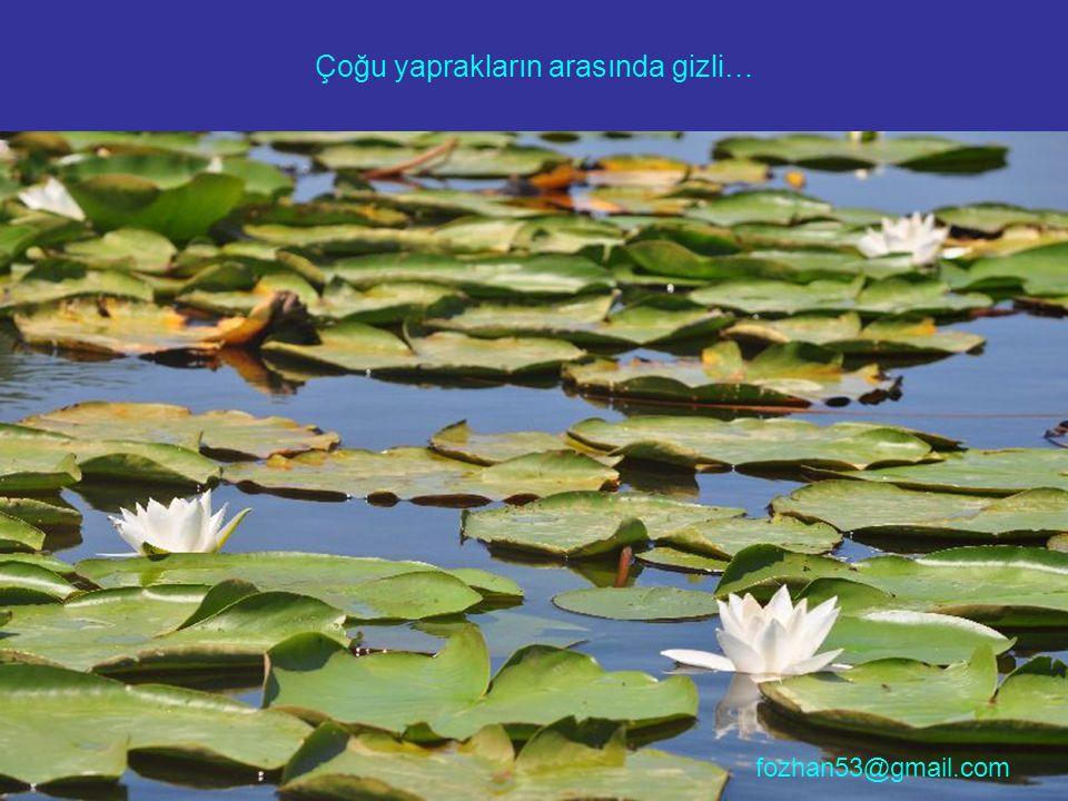 Çoğu yaprakların arasında gizli… fozhan53@gmail.com